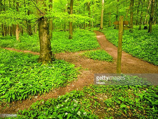 Dirt path through beech tree forest