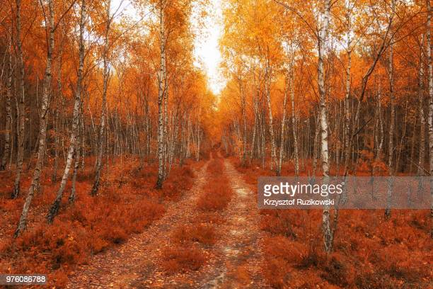 dirt road in autumn forest, warsaw, masovian voivodeship, poland - ポーランド ストックフォトと画像