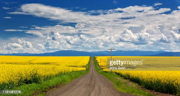 dirt road leads through bright yellow field of mustard flowers (oilseed rape) in springtime outside grangeville, idaho - idaho stock pictures, royalty-free photos & images