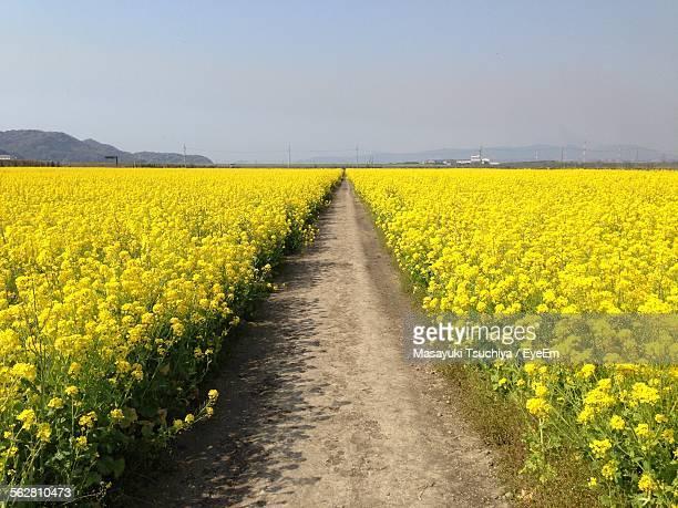 Dirt Road Passing Though Mustard Field