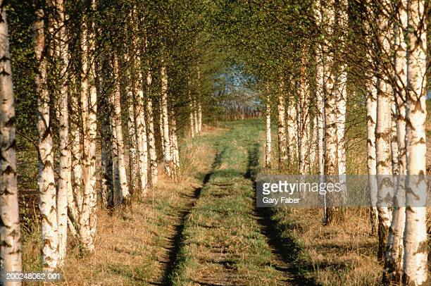 Dirt road running through birch trees, countryside, Finland