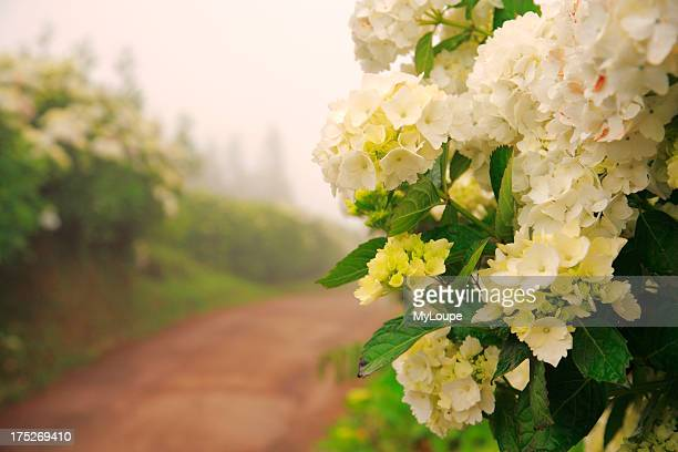 Dirt road surrounded by hydrangeas in a foggy day Azores islands Portugal