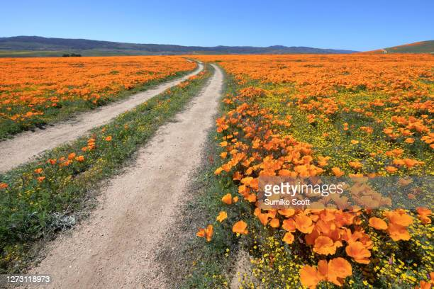 dirt road through poppy field, antelope valley california poppy reserve - nature reserve stock pictures, royalty-free photos & images