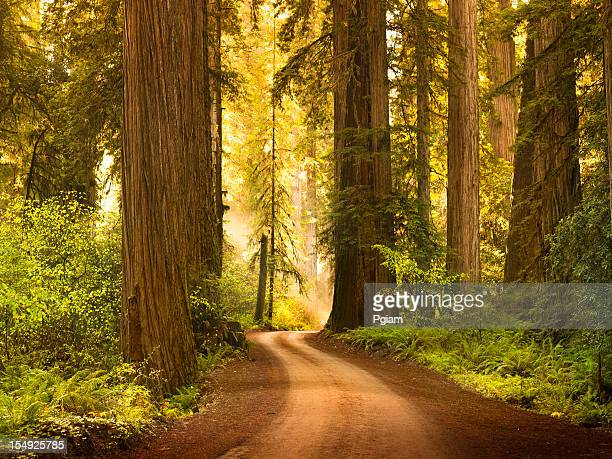 Dirt road through Redwood trees in the forest