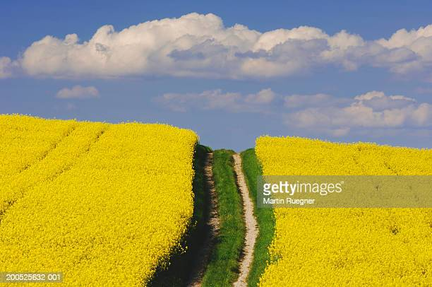 Dirt track in rapeseed (Brassica napus) field, spring