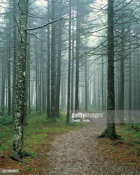 Dirt Trail Through Spruce Forest