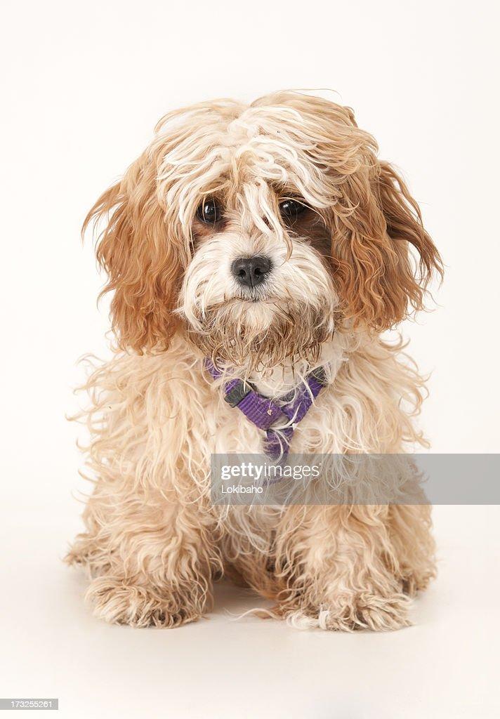 Dirty Cavapoo Puppy : Stock Photo