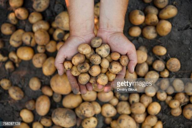 dirty hands holding potatoes - raw potato stock pictures, royalty-free photos & images