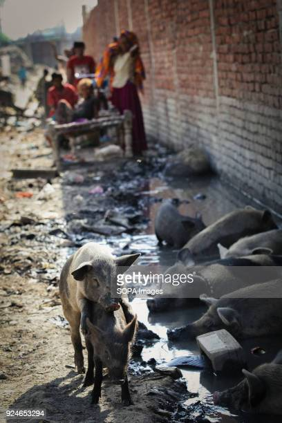 Dirty pigs seen resting next to dirty water near a slum Over 25 million people live in Delhi India What is particularly problematic in India is...