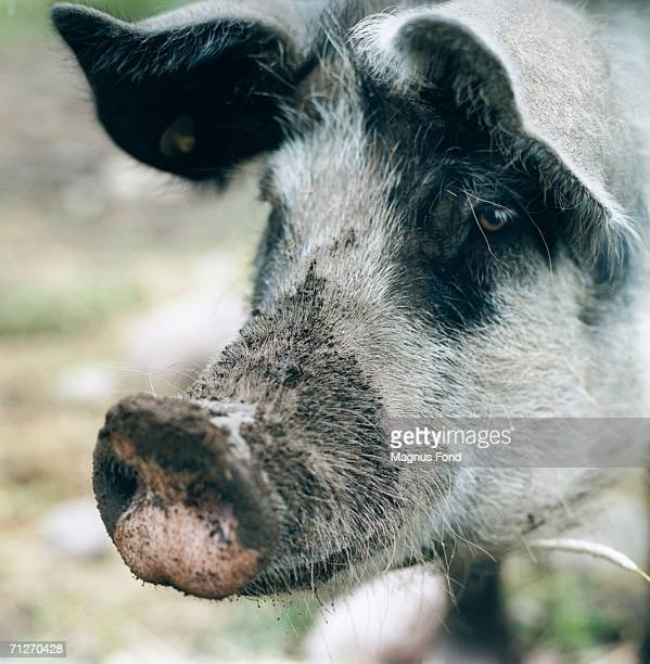 a dirty snout on a pig. - pig nose stock pictures, royalty-free photos & images