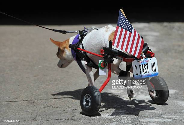 A disabled Chihuahua dog pulls its carriage at the 'Run of the Chihuahuas' annual race in Washington on May 4 2013 The annual Chihuahua race marks...