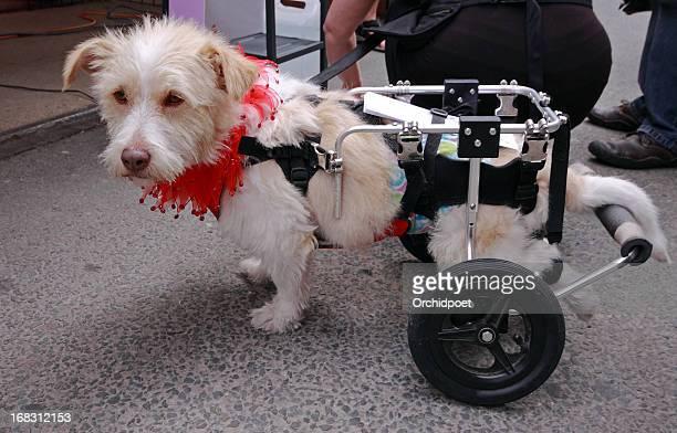 disabled dog - paraplegic stock photos and pictures