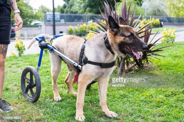 cane disabile in giro con il suo umano - sfruttamento degli animali foto e immagini stock