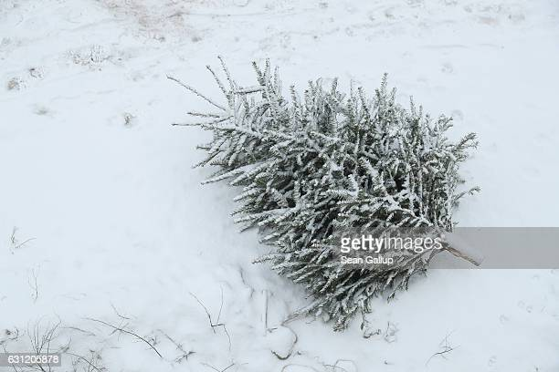 A discarded Christmas tree lies in fresh snow on January 8 2017 in Berlin Germany Many people in Germany take down their Christmas trees after...