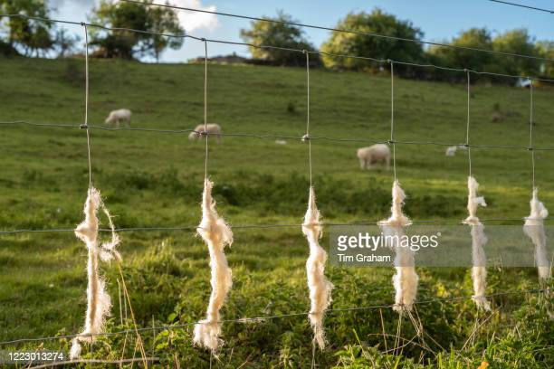 Discarded wool shed on stock fencing by Easycare sheep a woolshedding breed whose fleece removes itself and avoids sheep shearing during Coronavirus...