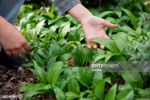 discovering wild garlic - named wilderness area stock pictures, royalty-free photos & images