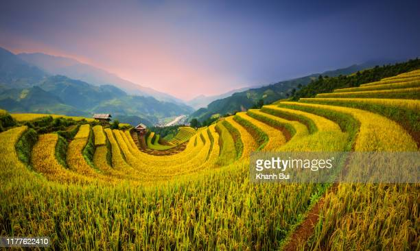 discovery and tourist at rice terraces heritage in mucangchai district, yenbai province, vietnam. best photos about ripe rice terraces very beauty, colorful and majestic - mù cang chải stock pictures, royalty-free photos & images