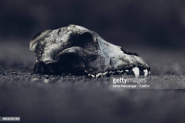 Discovery Of Animal Skull Fossil On Grounds