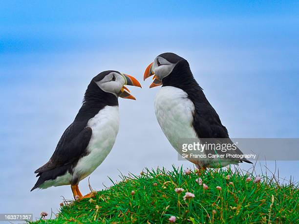 discussion between two atlantic puffins - westfjords iceland stock photos and pictures