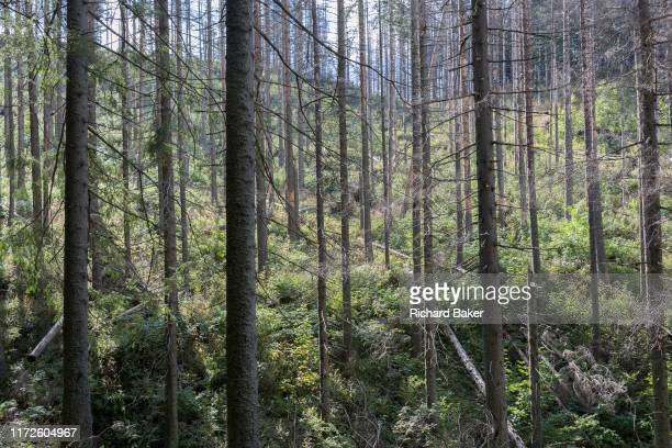 Diseased forest landscape where spruce trees have been badly affected by the European spruce beetle, in Dolina Mietusia, a hiking route in the Polish...