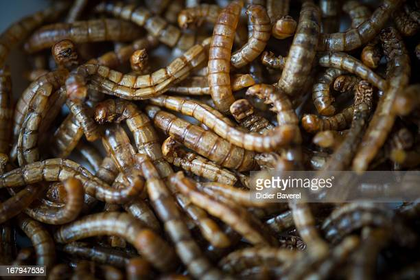 A dish of worms are displayed in the restaurant 'Aphrodite' run by French chef David Faure on May 2 2013 in Nice France Crickets and worms as produce...