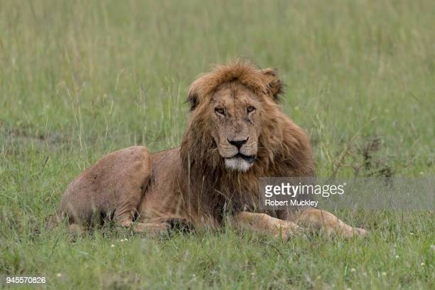 Dishevelled Male Lion