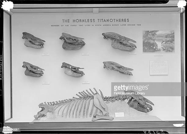 A display case in Hall 38 shows skulls of the Hornless Titanotheres in the Field Museum Chicago Illinois February 1942