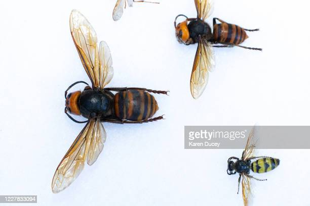 Display holding a dead Asian Giant Hornet from Japan , also known as a murder hornet, next to a commonly seen hornet as sample specimens from Japan...