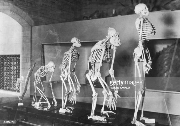 A display of a series of skeltons showing the evolution of humans at the Peabody Museum New Haven Connecticut circa 1935
