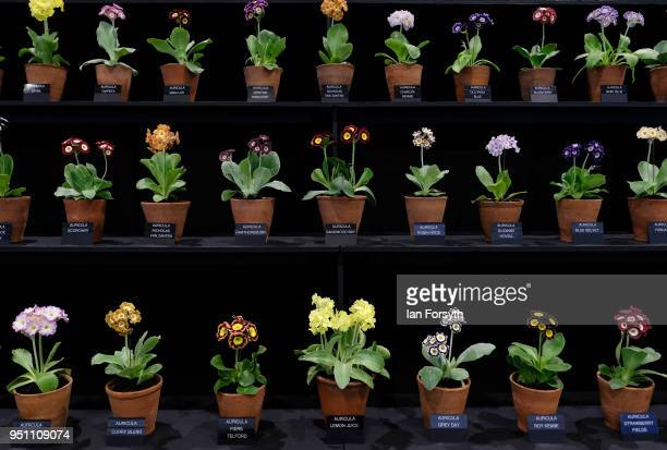 A display of Auricula are shown during staging day for the Harrogate Spring Flower Show on April 25 2018 in Harrogate England Organised by the North...