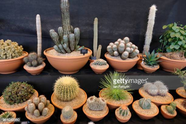Display of Cacti are arranged on display during staging day for the Harrogate Spring Flower Show on April 25, 2018 in Harrogate, England. Organised...