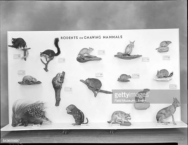 Display of Rodents or Gnawing Animals in Hall 15 Case 31E at the Field Museum Chicago Illinois 1946 From left to right top to bottom Scalytailed...