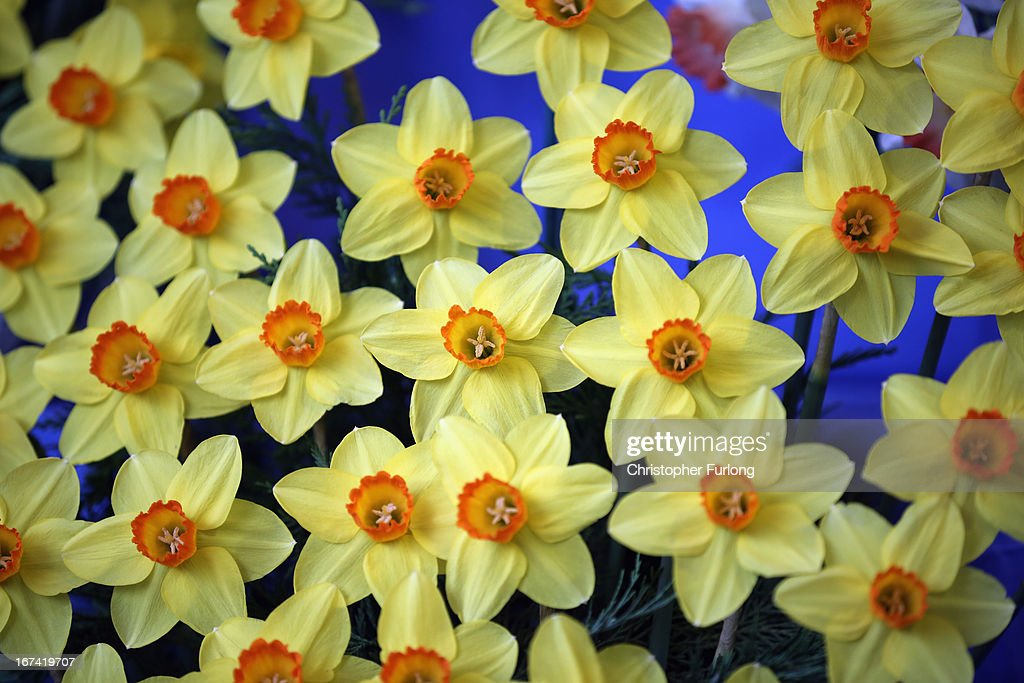 A display of Spring daffodils on show at the Harrogate Spring Flower Show on April 25, 2013 in Harrogate, England. Over 100 nurseries are staging displays of their flowers and plants at the Harrogate Spring Show organised by the north of England Horticultural Society. The premier gardening event of the north attracts thousands of horticulturalists to view it's show gardens and Spring floral displays.