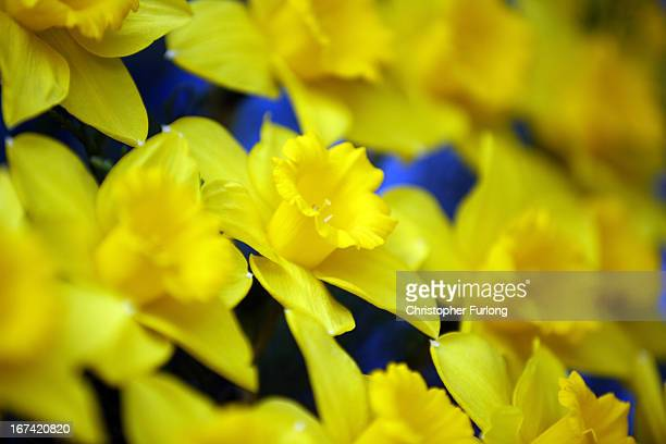 A display of Spring daffodils on show at the Harrogate Spring Flower Show on April 25 2013 in Harrogate England Over 100 nurseries are staging...