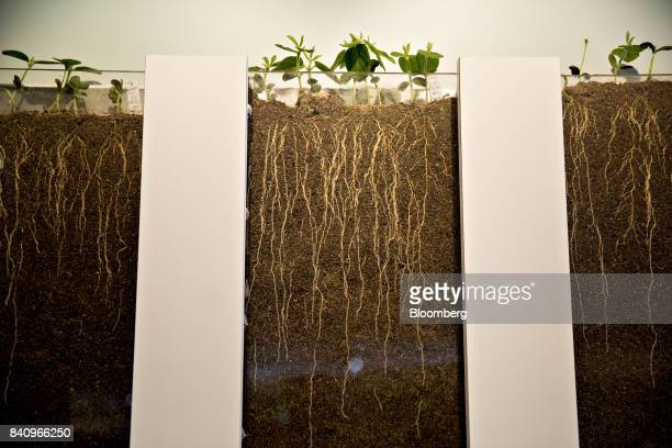 A display showing the root penetration of Syngenta AG soybean plants seen at the company's booth during the Farm Progress Show in Decatur Illinois US...