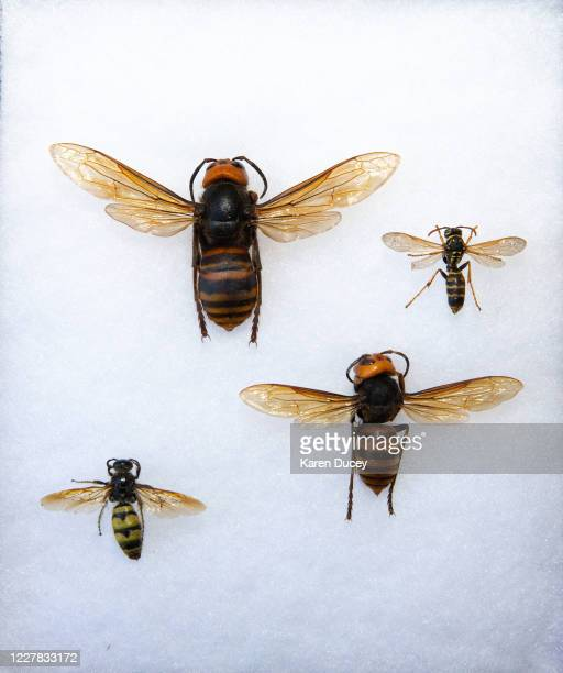 Display shows two dead Asian Giant Hornets from Japan , also known as murder hornets, next to a commonly seen hornet , and a wasp as sample specimens...