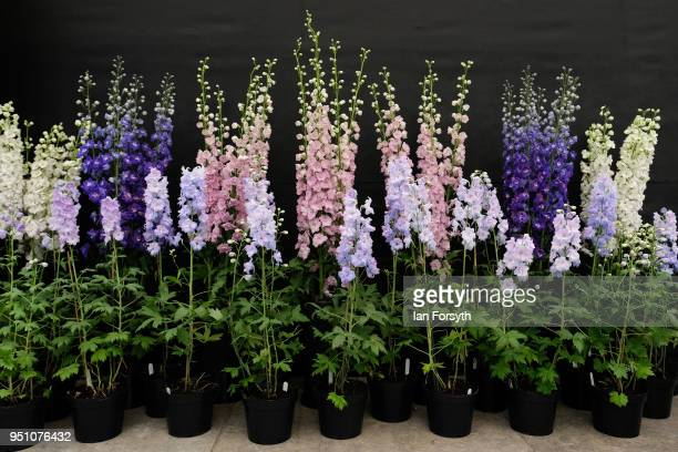 Displays of Delphinium on show during staging day for the Harrogate Spring Flower Show on April 25 2018 in Harrogate England Organised by the North...