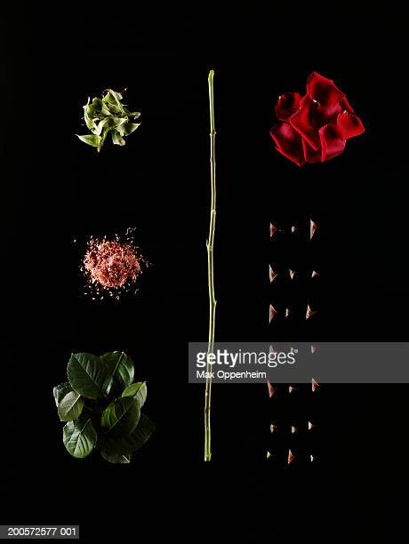 Dissected red rose on black background