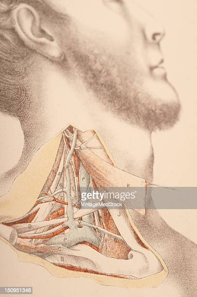 Dissection of the subclavian blood vessels with continous nerves muscles bone and arteries 1882 From 'Illustrations of Dissections in a Series of...