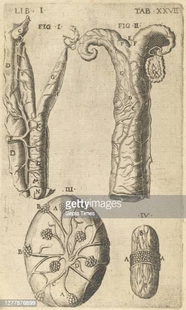 Dissection View of Uterus and Fallopian Tube, Caspari Bauhini Basileensis Theatrum anatomicum: novis figuris oeneis illustratum et in lucem emissum...