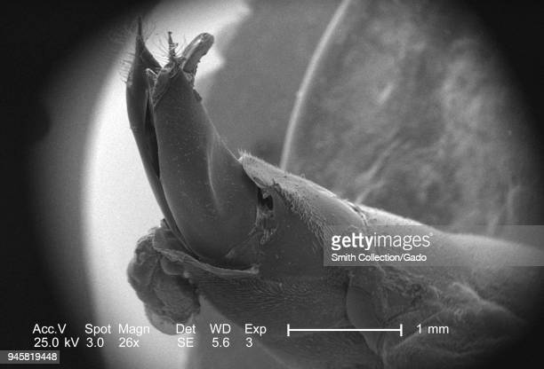 Distal abdominal region of a small hymenopteran insect depicted in the 26x magnified scanning electron microscopic image 2005 Image courtesy Centers...