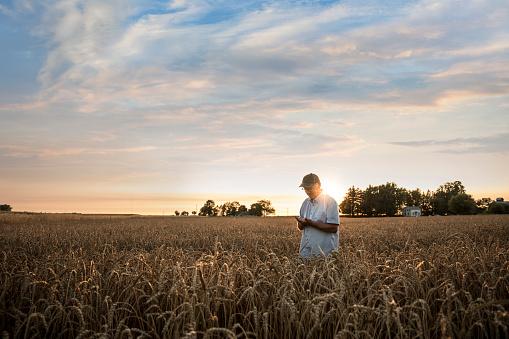 Distant Caucasian man examining wheat in field - gettyimageskorea