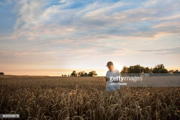 Distant Caucasian man examining wheat in field
