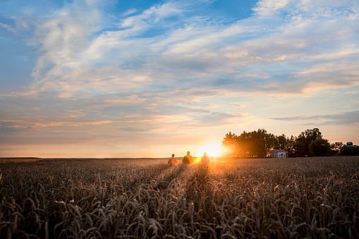 Distant Caucasian men in field of wheat at sunset - gettyimageskorea