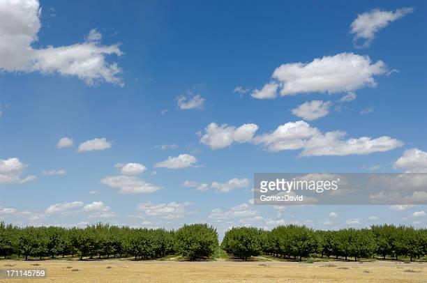Distante vista de Orchard Ripening nueces y almendras