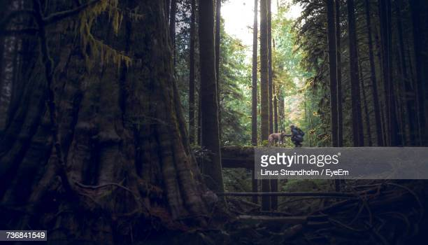 distant view of person with dog on fallen tree trunk in forest - vancouver island stockfoto's en -beelden