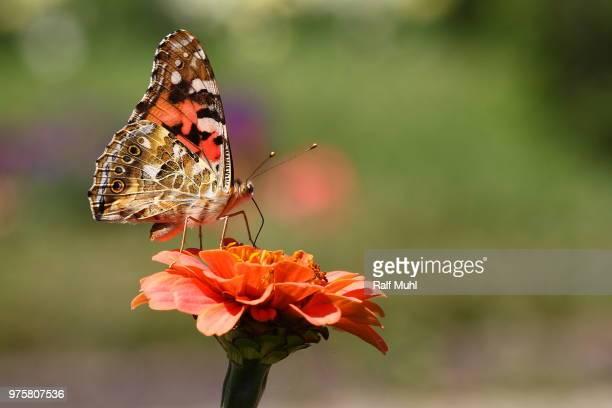 Distelfalter (Vanessa virginiensis) sitting on orange flower, Germany