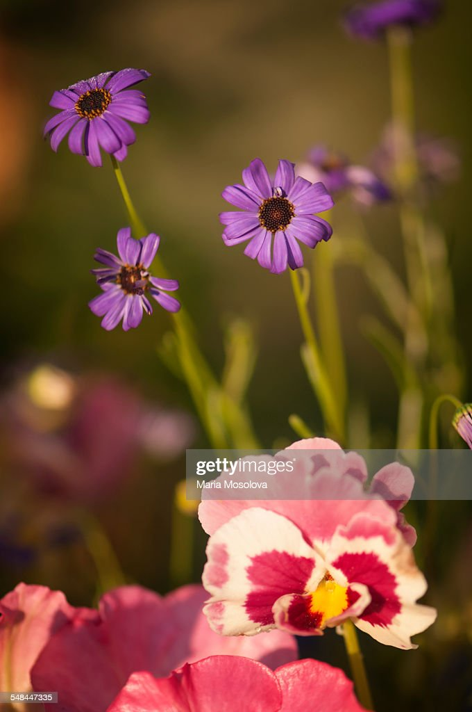 Distorted pink pansy flower and swan river daisies stock photo distorted pink pansy flower and swan river daisies stock photo mightylinksfo