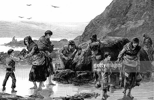 Collecting limpets and seaweed for food in west of Ireland Failure of the potato crop in previous year had made condition of these people desparate...