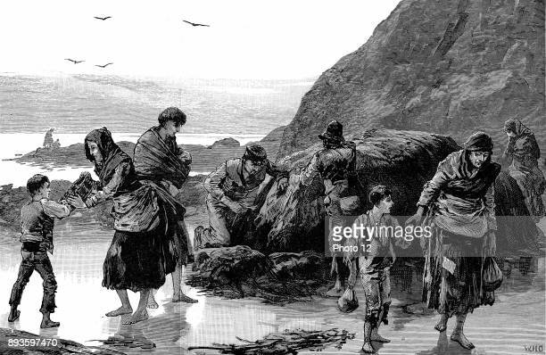 Distress in Ireland Collecting limpets and seaweed for food in west of Ireland Failure of the potato crop in previous year had made condition of...